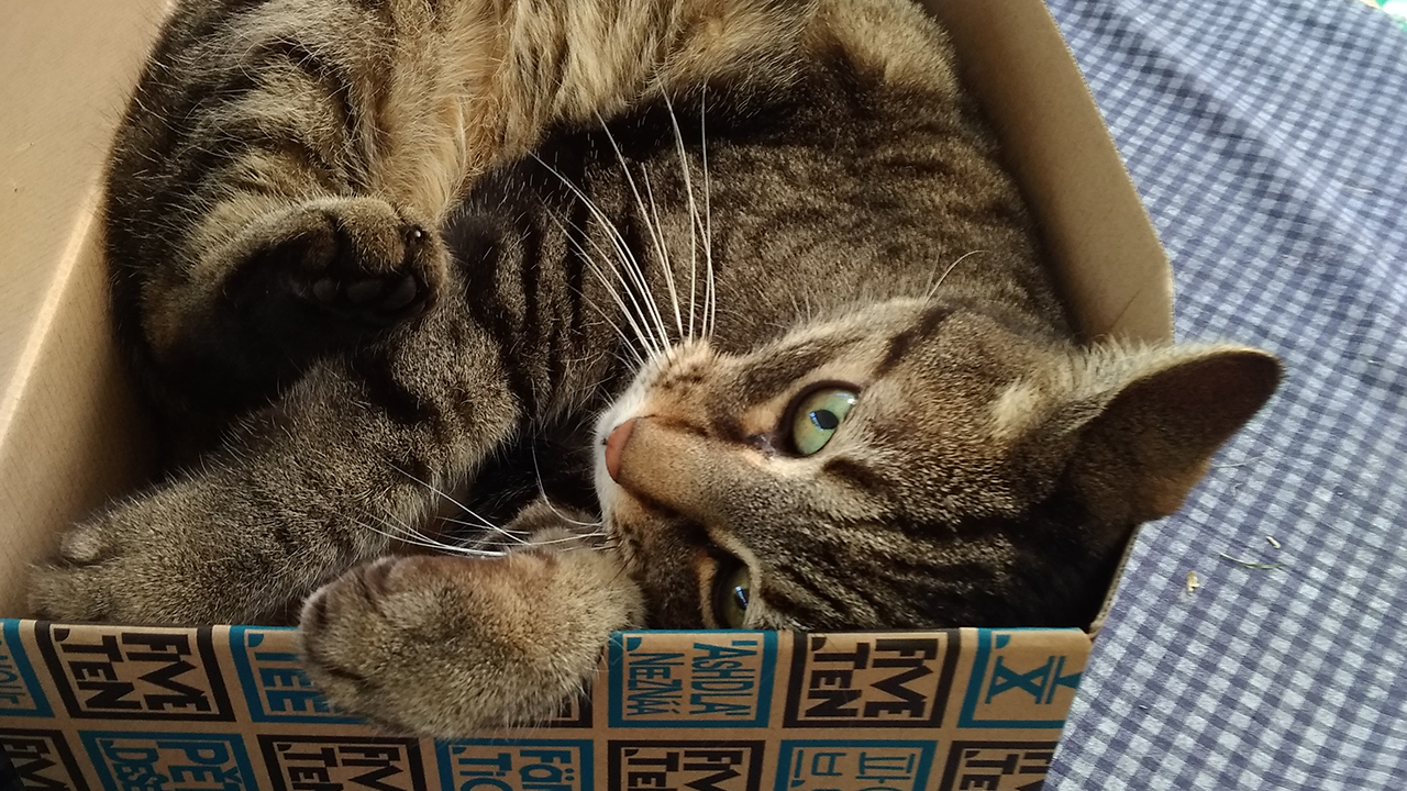 tabby cat that that barely fits in cardboard box